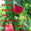 大量毛桃油桃供应--大英县远立水果种植专业合作社