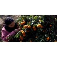 广西永福县砂糖桔供应,精品优质量大