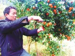 田坎边上种柑橘一举多得