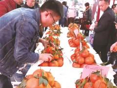 外地客商云集 助推东坡柑桔发展
