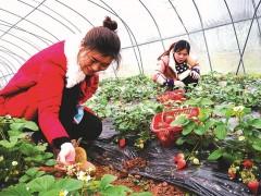 回乡种草莓 收入不菲