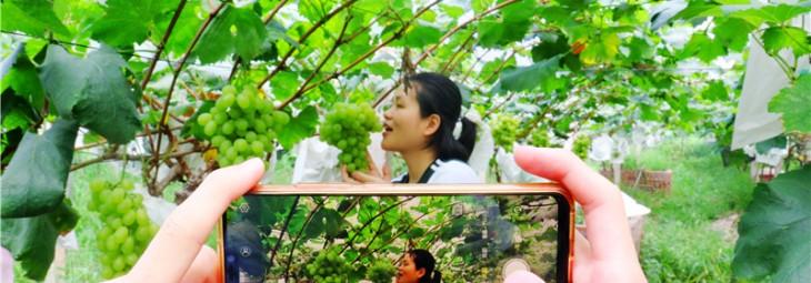 """又到葡萄成熟季 果农游客闻香享""""甜夏"""""""