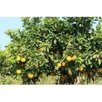 自家农场绿色安全脐橙求批发商 代理