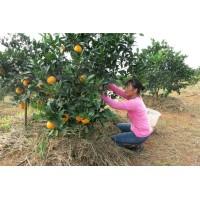二万多亩绿色安全脐橙农场大量供应橙子